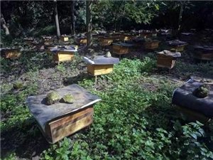 真正的土蜂蜜