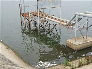 赵冲水厂被死鱼严重污染!举报多次无用!