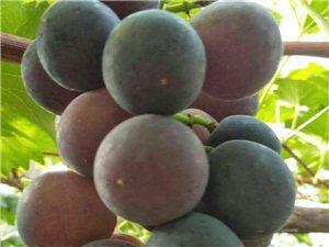 吃葡萄咯,紫香葡萄园葡萄上市啦,生态又健康