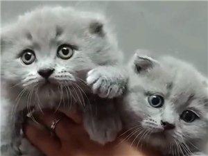 出售各種品種貓咪寶寶