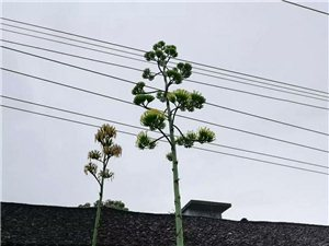 贵州山区开出比电线杆还高大的花,50年才开花,龙舌兰一生只开一次花,花后整株必死!往往种花人却有生之