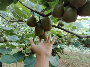 开阳县永温镇安大村红心猕猴桃成熟了