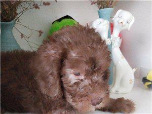 家养萌犬贝灵顿对外出售了