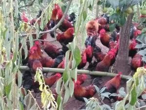 出售土鸡,谁要就与本人联系电话18123436128