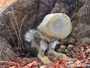 【狼头卡进塑料桶瘦成皮包骨】印度会计师Tanya在一片湖旁游玩时发现一只野狼整个头部被卡在一个塑料容