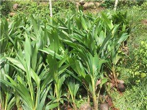 泰国矮椰苗