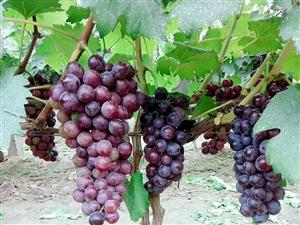 有没有认识收购葡萄的葡萄大量上市