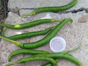 夏天大中午冒着35℃高温,他们为了生活在辣椒地浇水