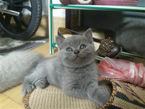 英短宠物猫找新主人