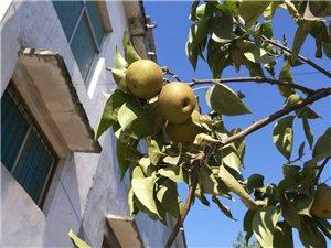 看我家的梨子