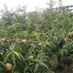 又甜又脆的鹰嘴桃,七月暑期最为成熟!