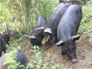 冠魁黑山猪免费带领上山参观