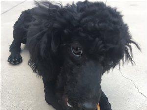 八个月黑色母泰迪找个爱狗能照顾好主人领养