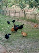 这些散养土鸡野得很,抓不到,给野鸡差不多还能飞