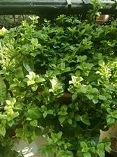 这个牡丹吊兰花可以凉拌吃吗?