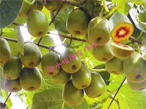 邻水县八耳镇怡康种植专业合作社红心猕猴桃熟了