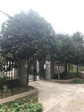 自家院里的桂花树,由于树大多,现低价处理两棵。树高约5米,树冠2.5-3.5米,米径约12cm。有意...