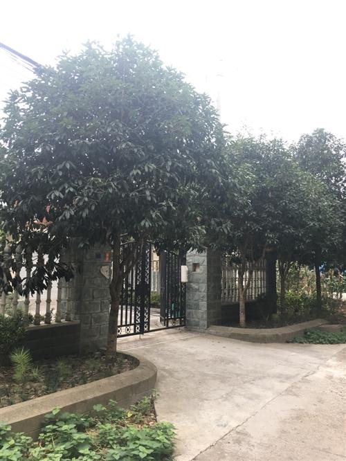 自家院里的桂花樹,由于樹大多,現低價處理兩棵。樹高約5米,樹冠2.5-3.5米,米徑約12cm。有意...