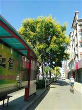 大桥路上的绿树黄花落满地