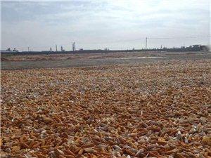 大量收購玉米棒子