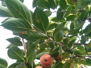 妈妈门前的柿子树