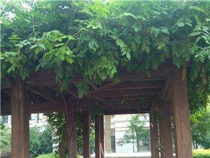 校园一角:揽园的葱绿