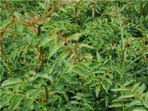 大量花椒樹苗 柿子樹苗 核桃樹苗