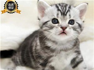 想要一只小小的美短小貓咪