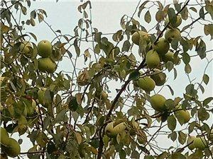 随手拍的枝头木瓜,不能吃哟!