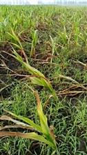 自然灾害玉米绝收