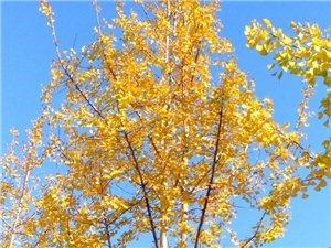 银杏树叶黄了(手机随拍)