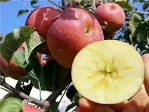 大凉山盐源丑苹果糖心红富士巴适得板,只是辛苦了在家种苹果的父母了