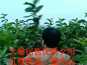 大量澳门老葡京平台优质夕阳红樱桃苗