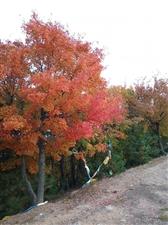 塔山红叶落日余晖塔山行,道窄崎岖路不平。幽静空寂枫林晚,满目姹紫透嫣红。登高望远赏美景