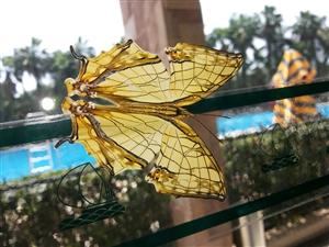 黄金女神(丝网蛱蝶)-摄于珠海度假村酒店游泳池