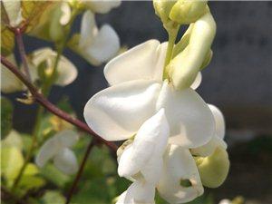 眉豆花也好美