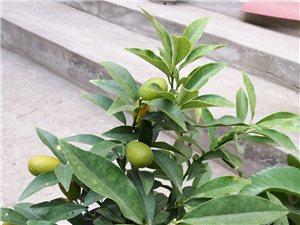 买了一棵橘子树