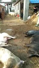 镇雄县感染疫情的乡镇统一处理猪猪……看着心疼