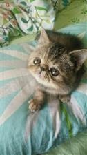 出售咖菲猫咪!