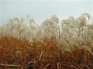 �J�花是�J�所�_的花。�J�,多年水生或�裆�的高大禾草,生�L在灌溉�锨�旁、河堤沼�傻氐龋�世界各地均有生