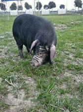 金土德生隆黑猪肉