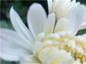 自己种的菊花开啦,菊香扑鼻,沁人心脾