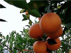 脐橙熟啦!万水千山总是情,不吃脐橙怎么行