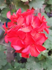 娇艳的绣球花