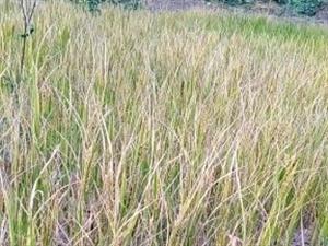 晚稻引种成功