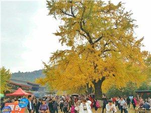 千年银杏迎客来这个双休随州千年银杏谷迎来大批游客。