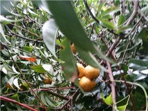大山里的野果,美味极了!