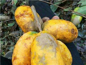 大山里的黄金果实,纯野生水果