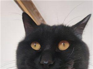 黑猫(辟邪猫)