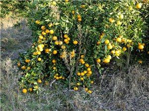 一年好景君须记,正是橙黄橘绿时